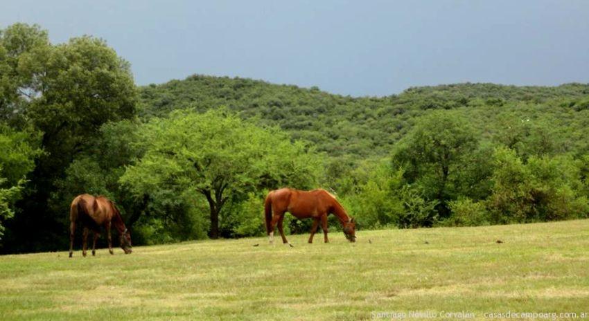 caballos_pastando